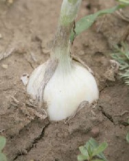 Soil Cracks when Onion Bulbs