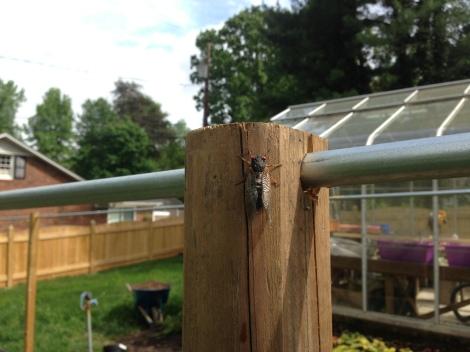 Cicada, Brood II